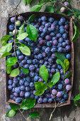 Fresh blue plums in rusty baking tray