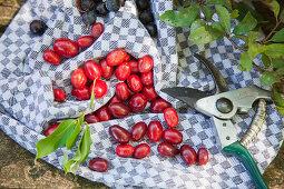 Cornelian cherries on a kitchen towel