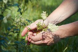 Hands picking flowering meadowsweet