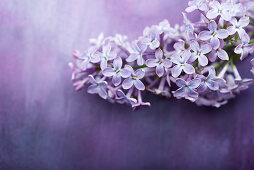 Fliederblüten auf violettem Untergrund
