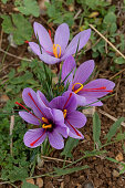 Cluster of Crocus sativus Greek saffron flowers growing