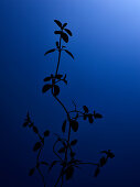 Thyme on blue