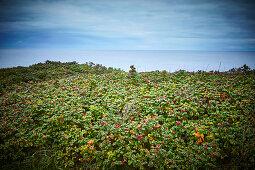 Rosehip field