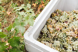 Freshly harvested white grapes in a pallet box