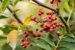 Szechuan pepper, ripe berries on the plant