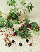 Blackberry branches