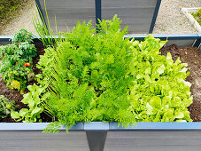 Raised bed with lettuce and vegetables