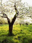 Blooming apple trees at river Rhine, Dusseldorf, North Rhine-Westphalia, Germany