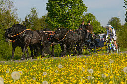 Young woman riding a racing bicycle passing a horse-drawn carriage, Upper Bavaria, Germany