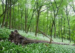 Wild garlic, Steigerwald Nature Park, Lower Franconia, Bavaria, Germany