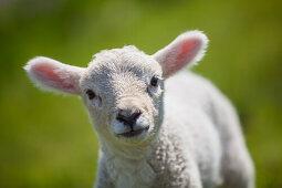 lamb, sheep, dyke, Schleswig Holstein, Germany