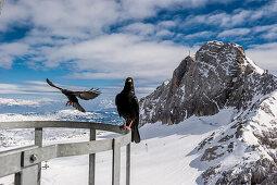 Bergdohlen, Dachstein, Gletscher, Schladming, Skigebiet, Österreich, Europa
