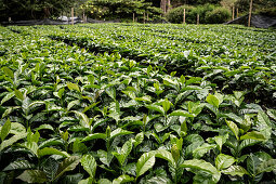 Kaffee Strauch Setzlinge auf Plantage  Hacienda Venecia bei Manizales, UNESCO Welterbe Kaffee Dreieck (Zona Cafatera), Departmento Caldas, Kolumbien, Südamerika