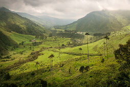 Cocora Valley, endemic wax palm trees, Salento, UNESCO World Heritage Coffee Triangle, Departmento Quindio, Colombia, Southamerica