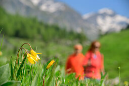 Wild tulips with man and woman hiking out of focus in background, Giro di Monviso, Monte Viso, Monviso, Cottian Alps, Piedmont, Italy
