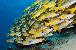Schwarm Blaustreifen-Schnapper, Lutjanus kasmira, Sued Male Atoll, Indischer Ozean, Malediven