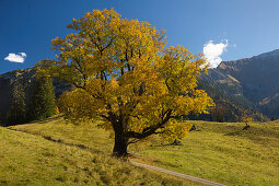 Bergahorn an der Schwarzenberghütte im Hintersteiner Tal bei Bad Hindelang, Allgäu, Bayern, Deutschland