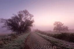 Kopfsteinpflaster, Weide und Eiche an einem Weg im Nebel, Oderbruch, Brandenburg, Deutschland