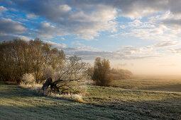 Raureif, alte Weide im Nebel, Oderbruch, Brandenburg, Deutschland