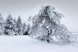 Kiefer, Winterlandschaft am Hohen Hagen nahe Winterberg, Sauerland, Nordrhein-Westfalen, Deutschland