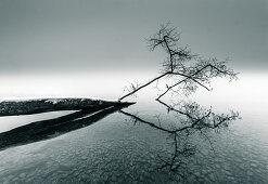 Beschneiter umgefallener im Wasser liegender Baum, Starnberger See, Bayern, Deutschland