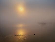 Boote und Blesshühner im Hafen bei nebliger Herbststimmung, Sonnenaufgang am Starnberger See, Seeshaupt, Bayern, Deutschland