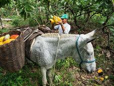 Bio-Kakaoernte auf der Almada Farm, Küstenregenwald, Mata Atlantica, Bahia, Brasilien, Südamerika