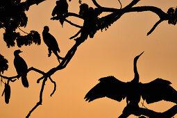Several birds sit in a tree at dusk, Kununurra, Western Australia, Australia
