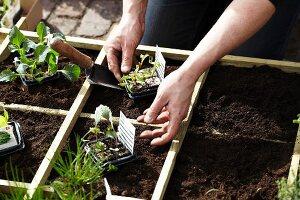 Gartenarbeit - Setzlinge im Holzkasten