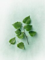 A birch twig with leaves