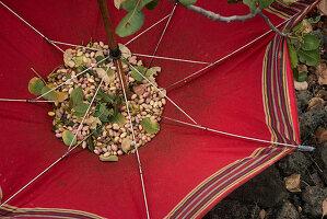 Pistazienernte im Regenschirm sammeln, Region Bronte, Sizilien, Italien