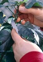 Stecklingsvermehrung von Hibiscus / Roseneibisch 1/8