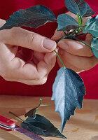 Stecklingsvermehrung von Hibiscus / Roseneibisch 3/8