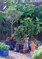 Ficus carica (Feige), Olea europaea (Olive)