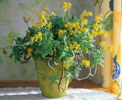 Aeonium arboreum in gelbem Topf