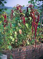 Amaranthus caudatus ' Pony Tails ' (Fuchsschwanz) im Hochbeet