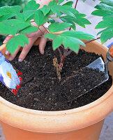 Gehölzpfingstrose pflanzen: 2/3