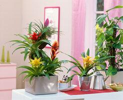 Verschiedene Guzmania, Vriesea (Flammendes Schwert), Philodendron (Baumfreund)