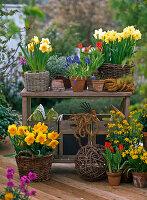 Narcissus 'Suada' 'Sunshine' 'Cassata' 'Tete a Tete' (Narzissen)