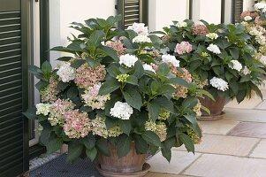 Hydrangea macrophylla (Hortensien) in Terracotta - Kübeln
