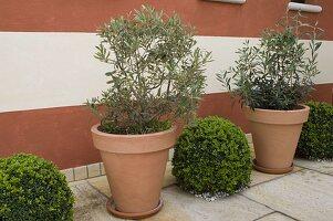 Olea europaea (Oliven) in Kübeln, Buxus (Buchs) Kugeln