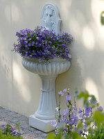 Wandbrunnen bepflanzt mit Campanula medium (Marienglockenblumen)