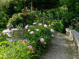 Staudenbeet mit Paeonia 'Bowl of Beauty' (Pfingstrosen)