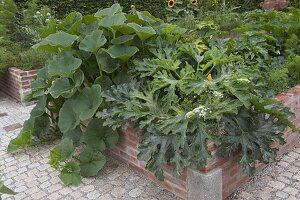 Hochbeet mit Zucchini und Kürbis (Cucurbita)