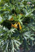 Gelbe Zucchini 'Goldrush' (Cucurbita) im Hochbeet