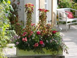 Spätsommerkasten mit Amaranthus 'Tricolor Splendens' (Fuchsschwanz)