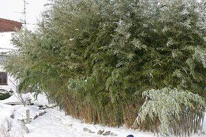 Sinarundinaria (Schirm - Bambus) im verschneiten Garten
