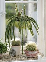 Aporocactus malisonii (Schlangenkaktus, Peitschenkaktus) im Fenster