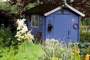 Blaues Gartenhaus hinter Staudenbeet mit Astilboides tabularis (Schaublatt), Alchemilla (Frauenmantel) und Phalaris (Reitgras)