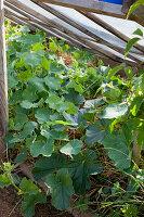 Melonen (Cucumis melo) und Tropaeolum (Kapuzinerkresse) wachsen in Frühbeetkasten mit hochgestellten Fenstern als Überdachung
